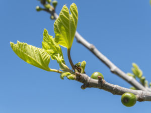 Outbreaks of a fig tree in spring